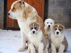 Алабай цены на щенков