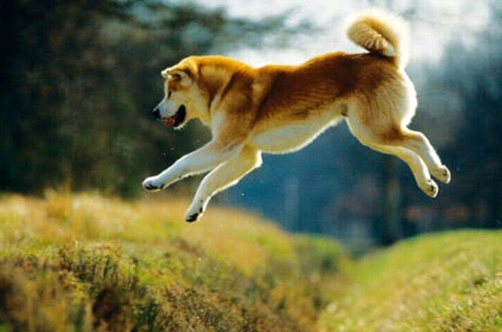 Японская собака акита ину: история