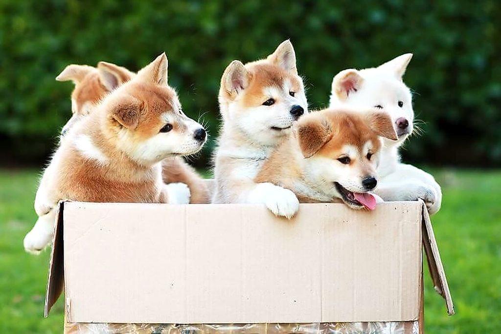 цена щенка акито ино собака фото