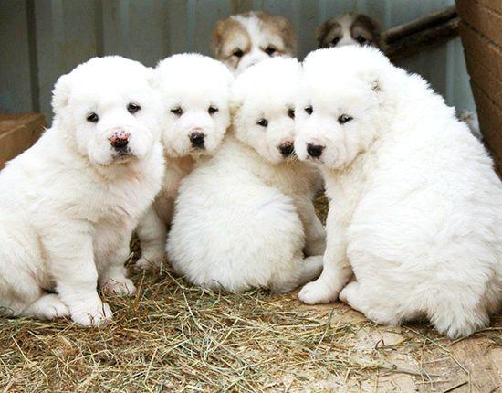 алабай щенок кормление 3 месяца