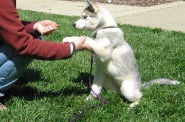 дрессировка щенка хаски самостоятельно