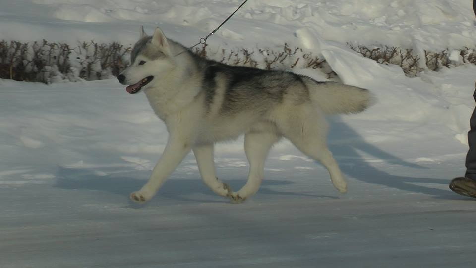 хаска сибирская фото щенки цена