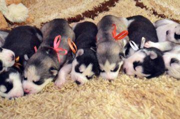 имена для собак хаски