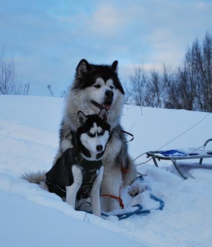 маламут аляскинский и хаски отличия