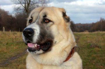 Храбрая собака - алабай