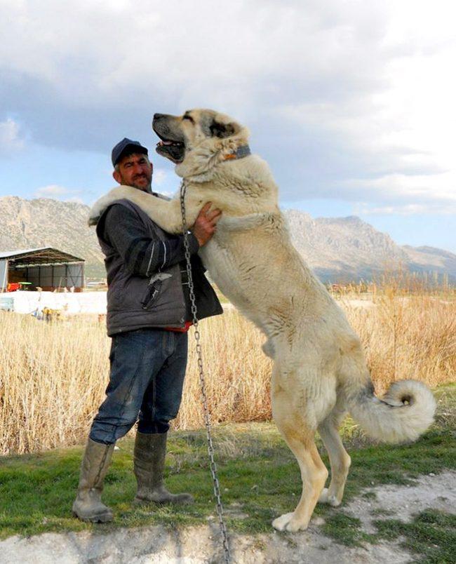 большой туркменский алабай
