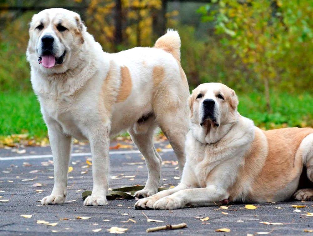взрослая собака алабай